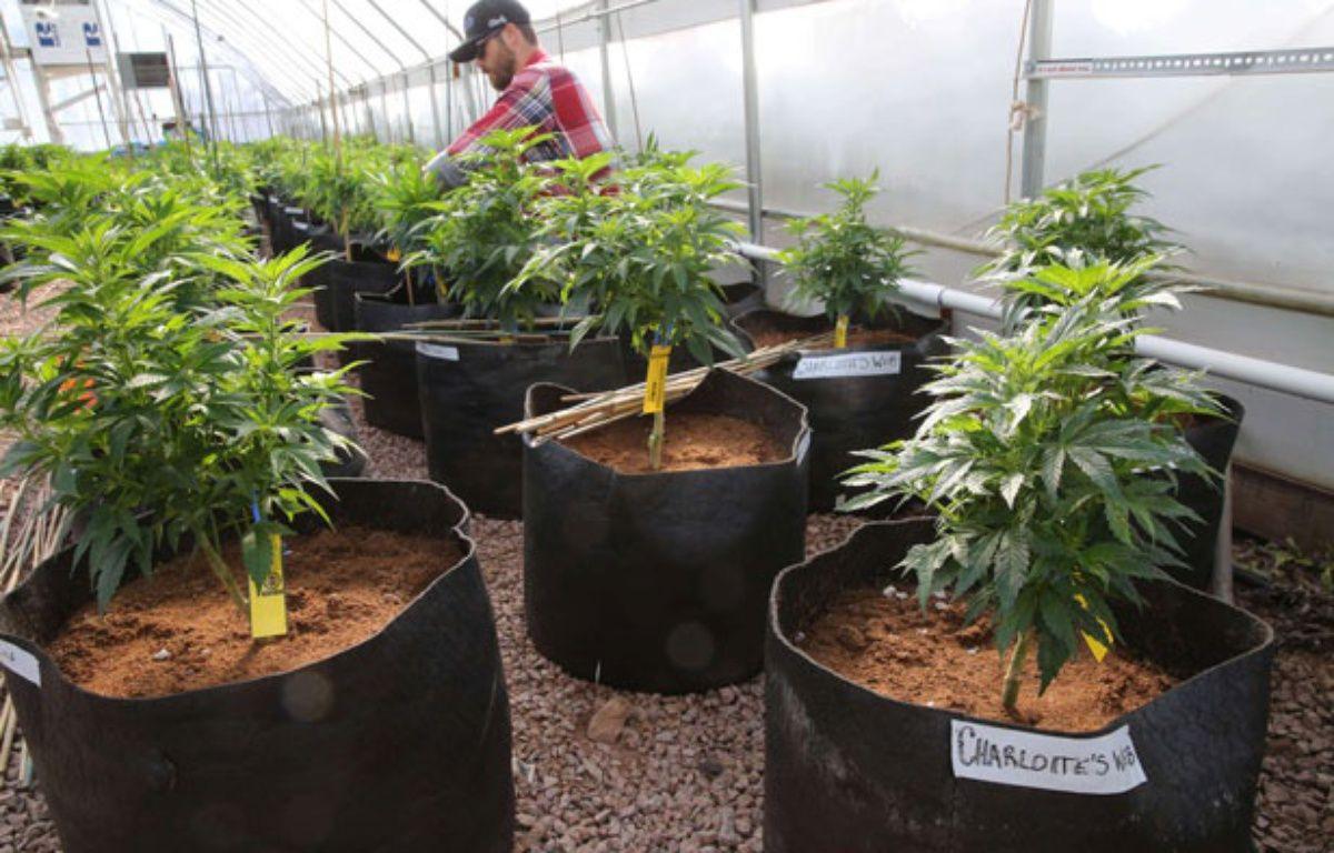 Des plants de cannabis à usage médical. – B.Linsley/AP/SIPA