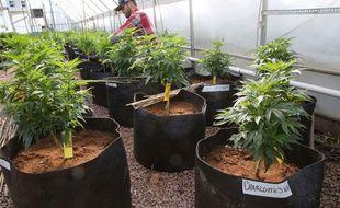 Des plants de cannabis à usage médical.