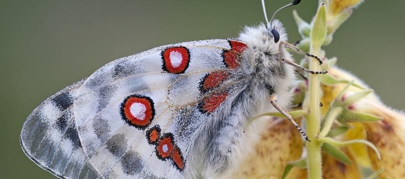 Un papillon Apollon (illustration).