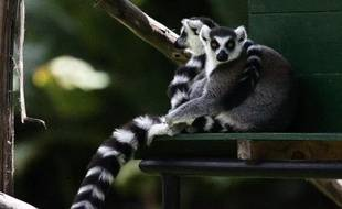 La quasi-totalité des lémuriens pourraient disparaître d'ici 20 ans si l'on ne fait rien contre la pauvreté à Madagascar, qui pousse les hommes à détruire la forêt, affirment des experts, qui chiffrent à près de 6 millions d'euros le plan de sauvegarde à adopter d'urgence.