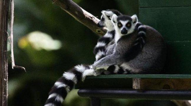 Les lémuriens de Madagascar risquent de disparaître