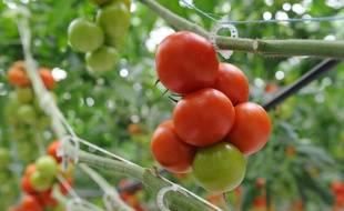 Illustration d'une culture de tomates sous serre.