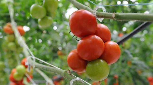 Les plants infectés par le virus de la tomate vont être détruits sous peu