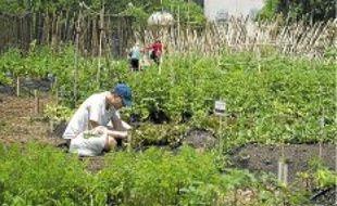 Une ferme urbaine bio à Manhattan en juin 2011.