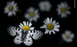 À la tombée de la nuit, un papillon Apollon (Parnassius appolo) se pose sur une marguerite sous l'objectif du jeune Ardéchois Emelin Dupieux, qui avec ce cliché, se hisse parmi les 100 photos lauréates du Wildlife photography of the year.