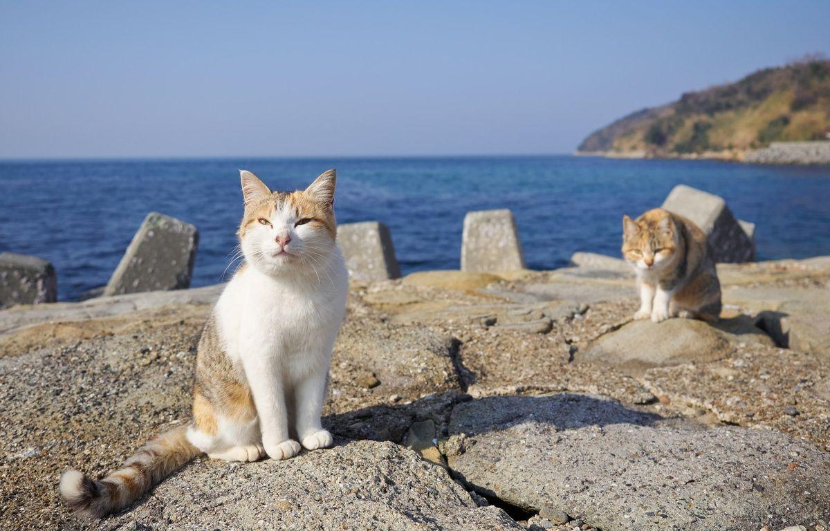 Des chats sur l'île japonaise d'Aoshima. – Rahen Z/flickr