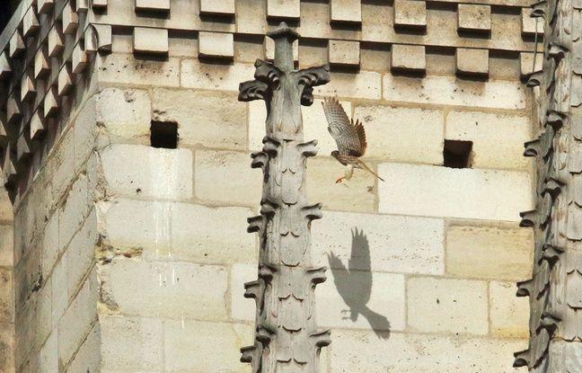 Le couple de faucons crécerelles de Notre-Dame