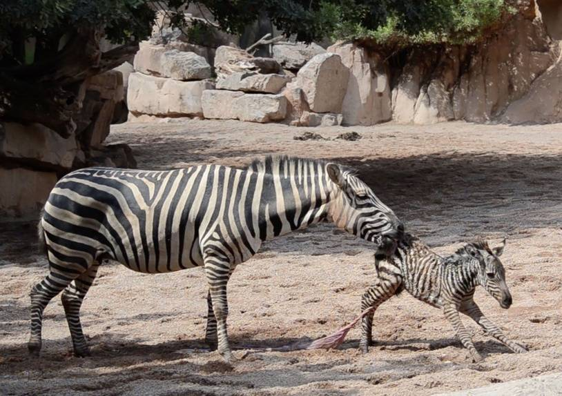 PIC BY BIOPARC VALENCIA/CATERS NEWS (PICTURED: Baby Zebra is saved from drowning just seconds after birth) - This baby zebra had been alive mere seconds before two zookeepers had to spring into action and save it from drowning. Observing a birth at Bioparc Valencia in Spain, two keepers quickly became concerned as a foal struggled to get to its feet after being born and accidentally stumbled into a watering hole - noticeably panicking its near-by mother. The quick-thinking keepers quickly leapt into action, diving into the water as the baby zebra desperately flails to keep its head above the water on September 5th.