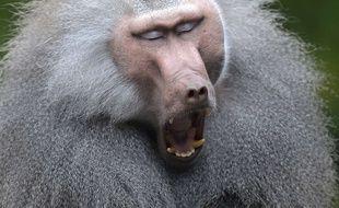 Illustration de babouin.