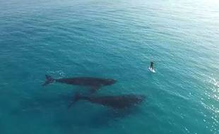 Un homme pratique le paddle autour de deux baleines bleues en Australie.