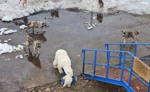 Un ours polaire et son petit, entouré de chiens, s'approchent d'une poubelle remplie de déchets alimentaires, dans l'archipel Franz Josef en Russie, en décembre 2016.