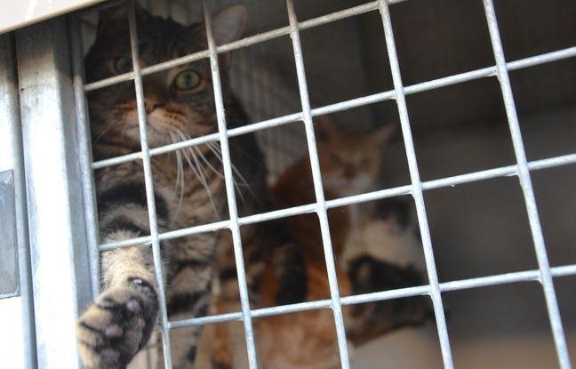 Un chat, installé provisoirement dans un box habituellement dédié aux chiens, à la SPA de Montpellier.