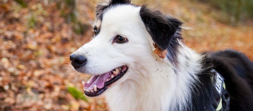 Les chiens atteints par une grippe porcine sont susceptibles de développer la forme aviaire de la pathologie.