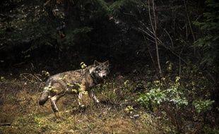 Alors, loup ou pas loup dans le Pas-de-Calais?