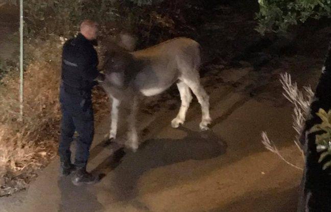 Avant cette escapade à Grasse, l'âne avait déjà fugué une première fois.