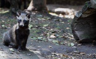 Un Tanuki préservé au zoo de Mexico.
