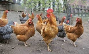 La mairie de Colmar va distribuer, le 30 mai, des poules à ses concitoyens pour diminuer le volume de déchets domestiques. (Illustration)