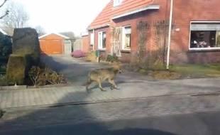 Un loup a été vu dans les rues d'une petite ville néerlandaise.