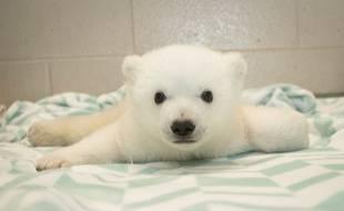 Nora, une oursonne polaire du zoo Columbus, à Washington.