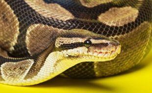 Illustration d'un python royal