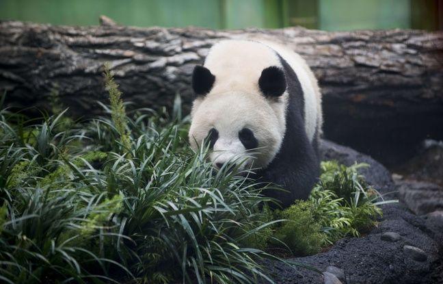 Canada: Pénurie de bambou frais pour deux pandas géants à cause du coronavirus
