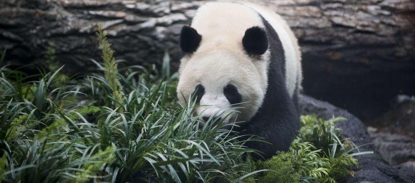 Da Mao, l'un des deux pandas prêtés par la Chine de zoo de Calgary, au Canada.