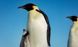 Un petit manchot empereur entouré par sa famille en Antarctique.