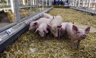 Des éleveurs ont lâché des porcinets dans un supermarché de Rennes, le 7 février 2015, pour protester contre les prix bas.