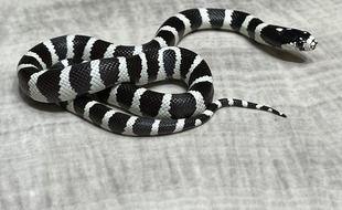 Le serpent roi de Californie n'est pas venimeux.