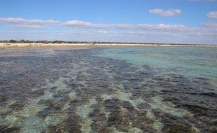 Les organismes microbiens se cachaient à l'intérieur de stromatolites, en Australie.