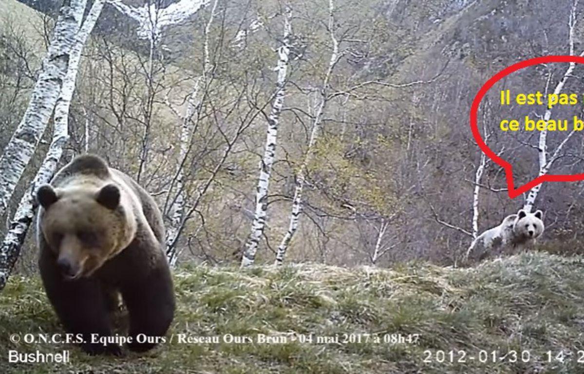 Extrait d'une vidéo d'un ours mâle en compagnie d'une femelle, le 4 mai, en Ariège. – ONCFS Equipe Ours/ Réseau ours brun