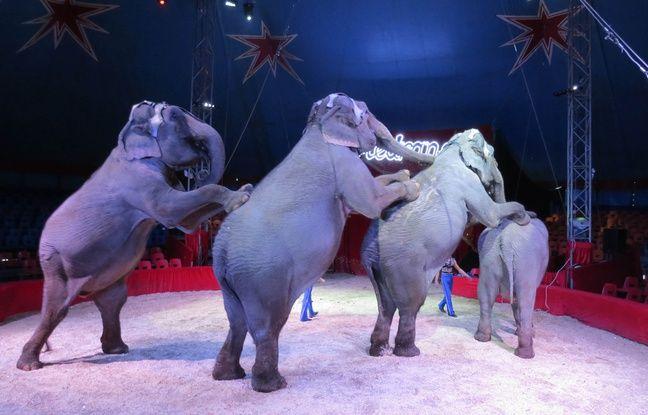 Les éléphants de la famille Gartner, au cirque Medrano.