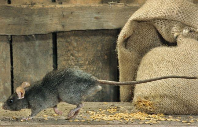 Rat, illustration.
