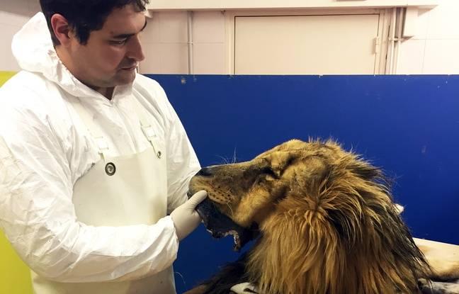 Brian Aïello, taxidermiste au Muséum de Toulouse, et le lion Charly.