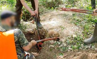 La mise à mort d'un renardeau lors d'une vénerie sous terre, dans les Hauts-de-France.
