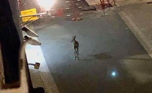 Un chevreuil s'est offert une virée dans les rues d'Angoulême en plein confinement, une imagée captée par Margot, une étudiante.