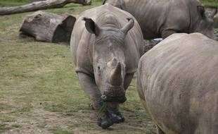Vince, 5 ans, rhinocéros blanc au centre de cette photo, a été abattu par des braconniers dans le zoo de Thoiry.