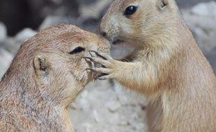 Même ces deux chiens de prairie, rongeurs très ressemblants à la marmotte, photographiés au zoo de Hanovre, en Allemagne, sembleraient être adeptes de la bise... ou pas.
