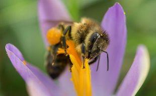 Une abeille récolte le pollen d'un crocus, le 1er février 2016 à Fribourg, dans le sud-ouest de l'Allemagne