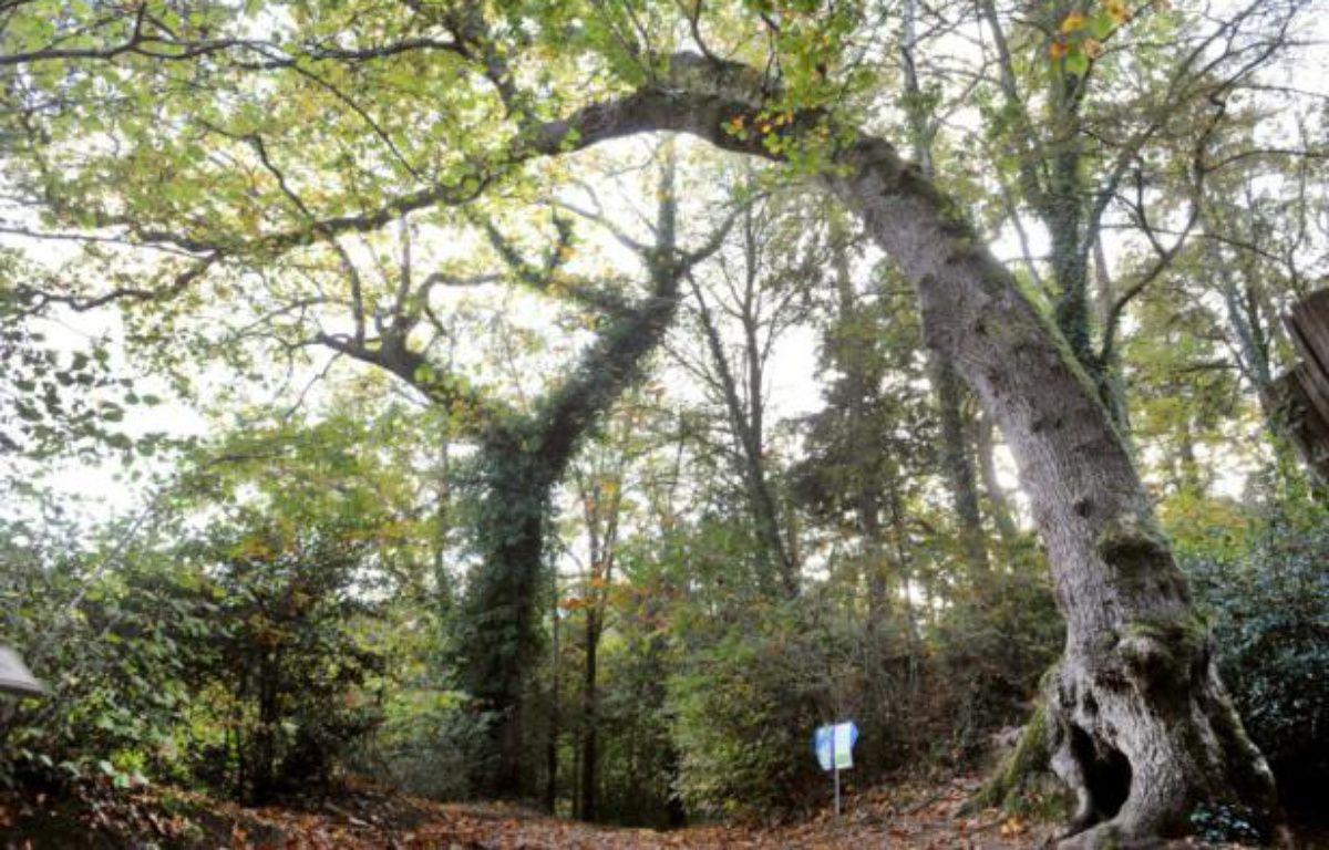 """Dans la forêt du Fouesnant, en Bretagne, un chêne bicentenaire """"arbre-girafe"""" – FRED TANNEAU AFP"""
