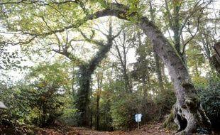 "Dans la forêt du Fouesnant, en Bretagne, un chêne bicentenaire ""arbre-girafe"""