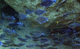Le réchauffement climatique ne change pas seulement la température et la teneur en oxygène des océans, il risque de faire rétrécir considérablement les poissons qui y vivent, avertit une étude publiée dimanche.