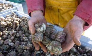 La crépidule est un coquillage invasif qui tapisse le fond des baies, notamment en Bretagne. Comestible, il est aussi appelé berlingot de mer.