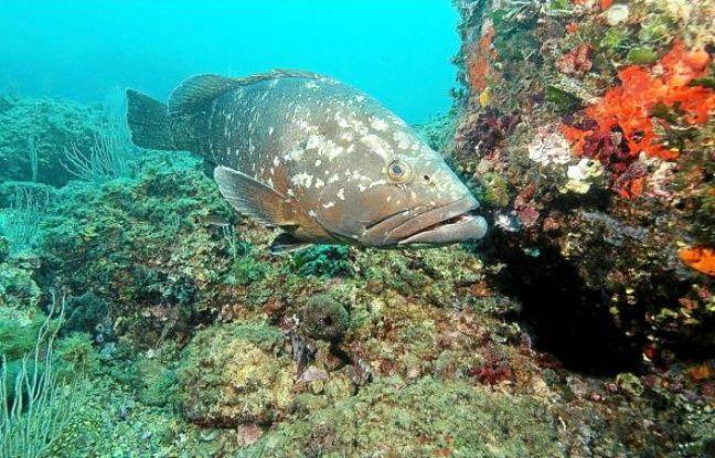 Le mérou, qui avait quasiment disparu dans les années 80, réapparaît dans les eaux azuréennes.