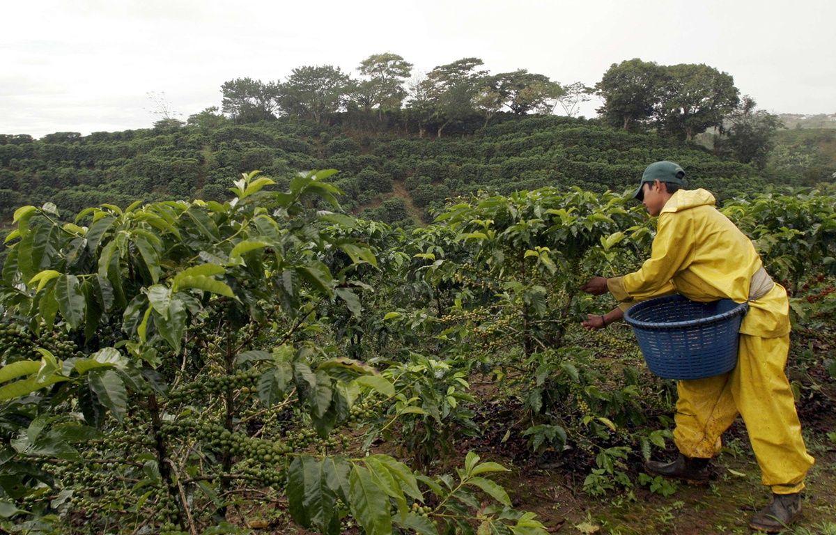 Récolte sur une plantation de café au Costa Rica. –  Kent Gilbert/AP/SIPA
