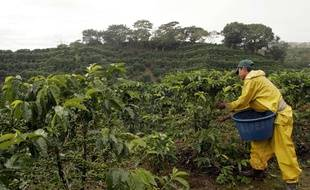 Récolte sur une plantation de café au Costa Rica.