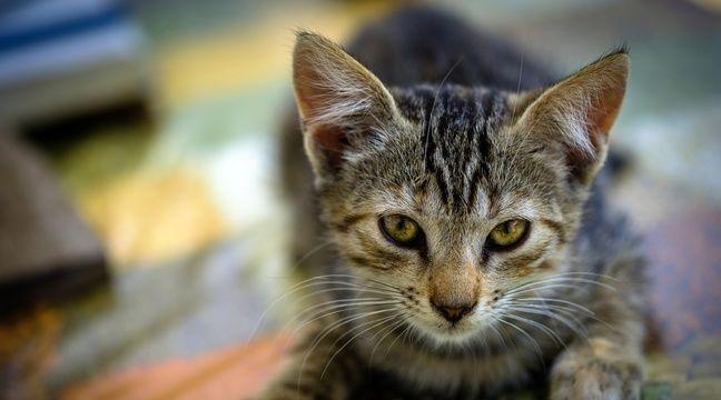 Un chat testé positif au coronavirus en Belgique