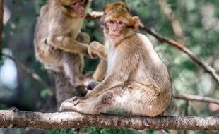 Deux macaques auraient échappé à l'opération d'euthanasie réalisée le 19 mai, dans les Landes. / AFP PHOTO / FADEL SENNA