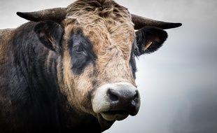 Un agriculteur a été tué par un taureau, dans le Tarn-et-Garonne. Illustration.