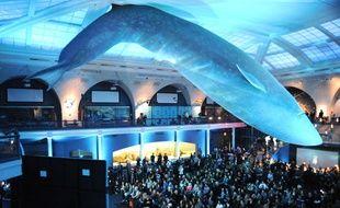 Le musée d'histoire naturelle de New York propose au public de dormir sous la star de ses collections: un baleine bleue.